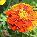 The Marigolds are getting ready for winter by Maree  Clarkson
