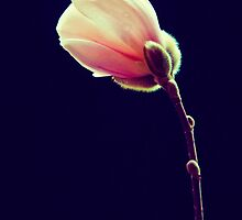 Magnolia by LawsonImages