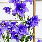 Balloon Flower by goddarb