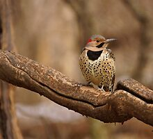 Northern Flicker by Sandy Keeton