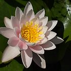 Crisp, Gently Pink Waterlily in the Hot Mediterranean Sun by Georgia Mizuleva