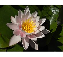 Crisp, Gently Pink Waterlily in the Hot Mediterranean Sun Photographic Print