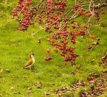 woodpecker by yampy