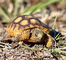 Baby gopher tortoise by Larry Baker