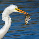 Great White Egret Gets His Afternoon Snack by imagetj