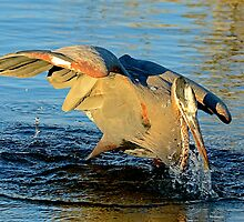 Great Blue Heron Dives for the Fish by imagetj