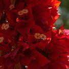 My Fabulous Tropical Valentines Gift - Vivid Red Bougainvillea by Georgia Mizuleva