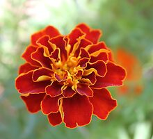 Oh! Marigold! by Maree  Clarkson