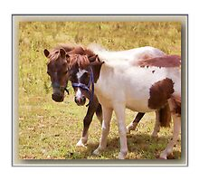 There's nothing phony about a Shetland Pony by john NORRIS