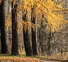 larch trees by mrivserg