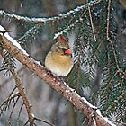 Northern Cardinal - Female - Cardinalis cardinalis  by MotherNature