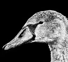 Swan Black & White by TimNatureArt