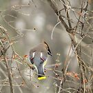 Cedar Waxwing in Berry Bush by Deb Fedeler