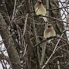 Six Cedar Waxwings in a Tree by Deb Fedeler