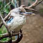The Blue-winged Kookaburra by Chris  Randall