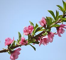 Pink blossoms on a Peach tree in an orchard.  by PhotoStock-Isra