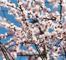 Cherry blossoms Japan  by PhotoStock-Isra