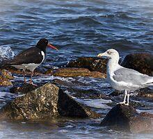Oystercatcher and Herring Gull by JonnisArt