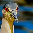 Black Crowned Night-Heron by George I. Davidson