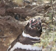 Singing Magellanic Penguin by Harald Ole Hansen