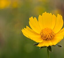 Yellow Flower by jaclyn-kavanagh