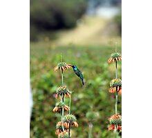 Sparkling Violetear Hummingbird Pollinating Plant Photographic Print