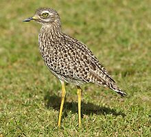 Spotted Thick-knee by DebiDavis