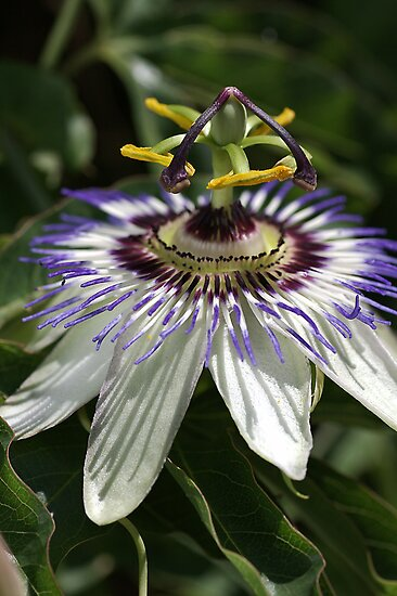 flower-Passionfruit  by Joy Watson