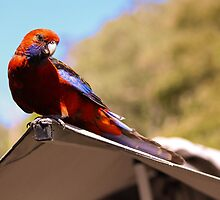 Hungry Rosella - Jenolan Caves by Andrew Dodds