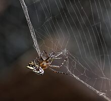 Orb-Web Weaving (Araneidae) Spider by Matthew Hockley