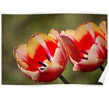 Wet Tulip Flowers Poster