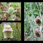 A Trio of Autumn Teasles by WalnutHill