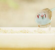 Curious Cordon Bleu Finch  by Lisa Knechtel
