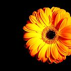 Gerbera - edition orange by Ronny Falkenstein