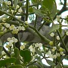 Mistletoe  Blooms and Fruit by Navigator