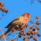 A Male House Finch by jozi1