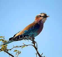 Lilac Breasted Roller by JenniferEllen