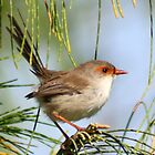 Female Wren  by Trish Threlfall