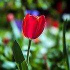 Tasmania Tulip by Brett Rogers