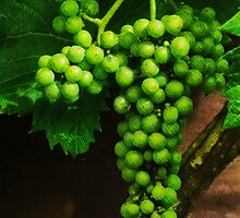 The Grape Vine  by PictureNZ