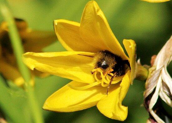 Bee Bottom in Hiding by AnnDixon