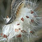 Gaining Independence - Milkweed Seeds - Asclepias syriaca by MotherNature