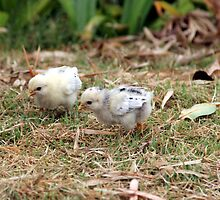 two small chicks by guest030983