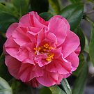 First Camellia of 2014 by heatherfriedman