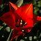 DECEMBER AVATAR ~ A Single Red Tulip