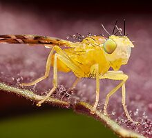 Yellow Fruit Fly On Purple Leaf by Dan Dexter