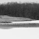 Ni River Reservoir Winter Birds by John Ayo