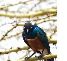 Superb(ly pissed off) Starling by Sanya  Sundar