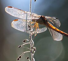 dragonfly in backlight - libélula en contraluz by Bernhard Matejka