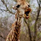 HOW MUCH LONGER MUST I HOLD MY  TUNG !!! -GIRAFFE – Giraffa Camelopardalis (KAMEELPERD) by Magaret Meintjes